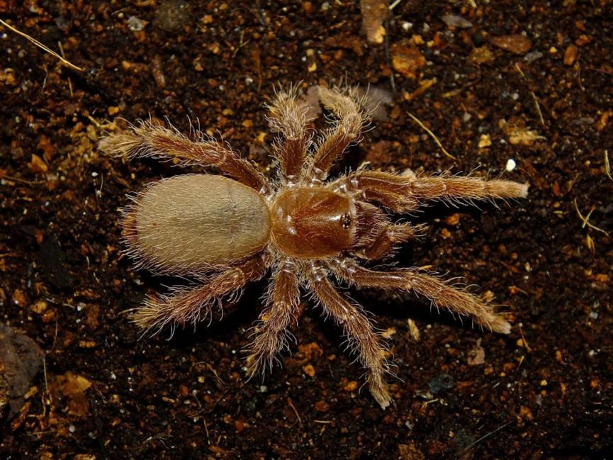 Pelinobius muticus L2 (2cm) x10