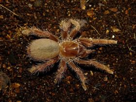 Pelinobius muticus ♀ 3DC (4,5-5cm)