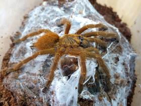 Pterinochilus murinus ♀ 2,5DC (4cm)