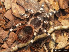 Acanthoscurria geniculata ♀ 2,5-3DC (4,5cm)