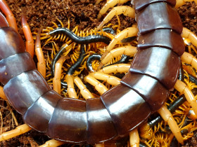 Scolopendra subspinipes - young (4cm)