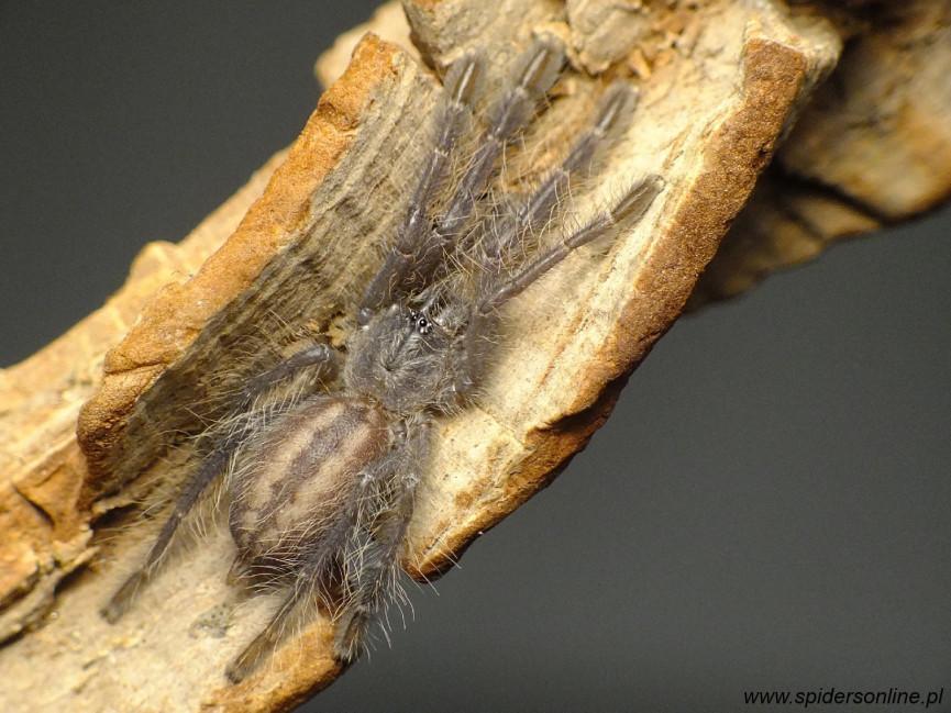 Poecilotheria metallica ♀ 3DC (7cm)