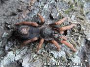 Kochiana brunnipes ♀ 2DC (4cm)