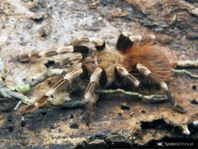 Nhandu chromatus L5/6 (2-2,5cm)