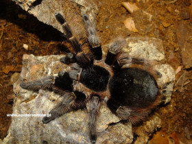 Nhandu carapoensis L5 (2cm)