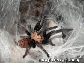 Chilobrachys fimbriatus ♀ 3DC (6cm)