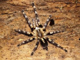 Poecilotheria sp. lowland L2/3 (2,5cm)