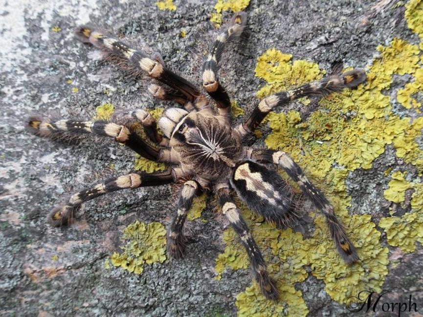 Poecilotheria sp. lowland L2 (2cm)