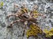 Poecilotheria sp. lowland L3 (3cm)
