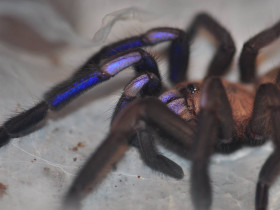 Chilobrachys sp. electric blue ♀ 2DC (3,5cm)