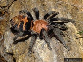 Davus pentaloris (adult female)