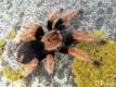 Brachypelma boehmei ♀ 1,5-2DC (3cm)