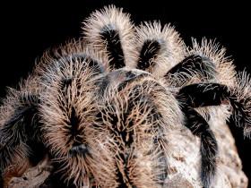 Brachypelma albopilosum 'NICARAGUA' L1 (1cm)