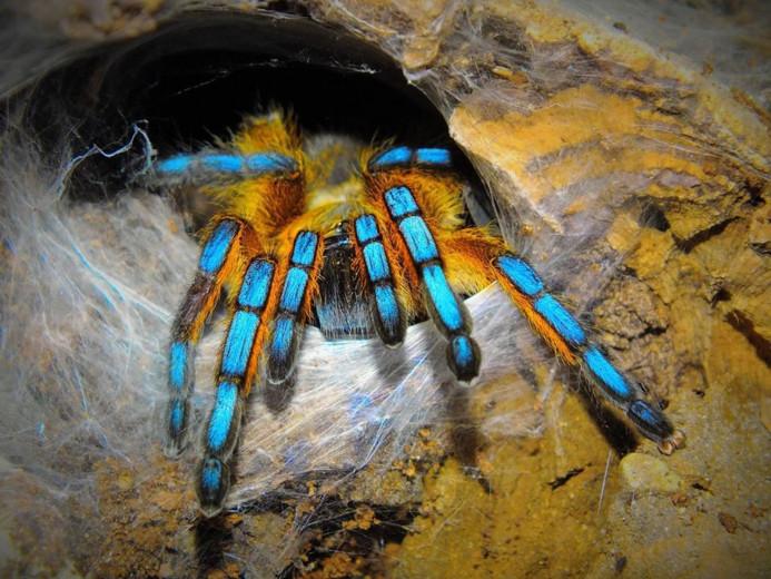 Harpactira pulchripes L2 (1,5cm) x10