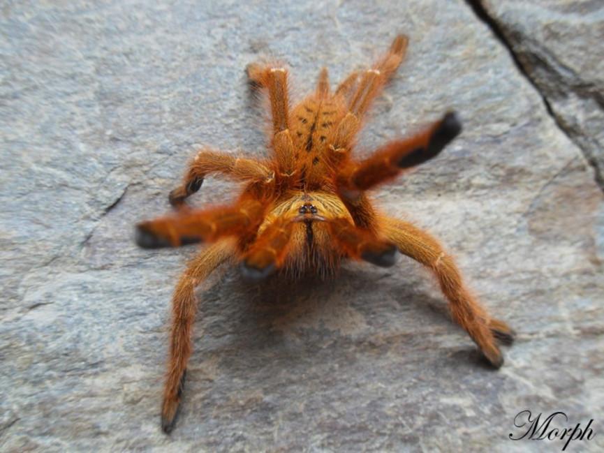 Pterinochilus murinus 'usambara' L1(1cm) x10