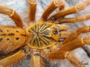 Pterinochilus murinus 'usambara' L2 (1cm) x10