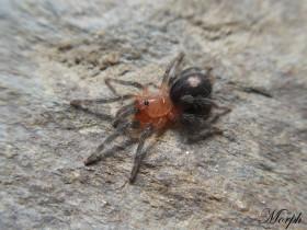 Cyriocosmus perezmilesi ♂ 1DC (2cm)