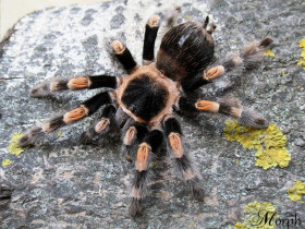 Brachypelma hamorii (adult female)