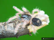 Bonnetina sp. Chamela L1/2 (1cm) x10