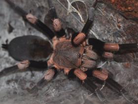 Haplocosmia himalayana L2 (1,5cm)