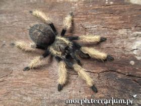 Ornithoctoninae sp. Laos (Prison Des Abeilles) L3 (2cm)