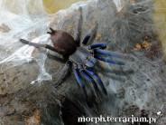 Chilobrachys dyscolus blue L2/3 (1cm)