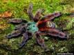 Caribena versicolor L1/2 (1cm)