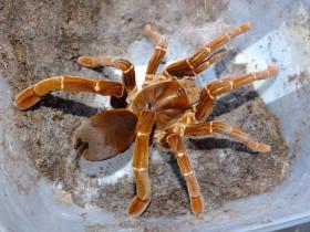 Pelinobius muticus L3 (2cm)