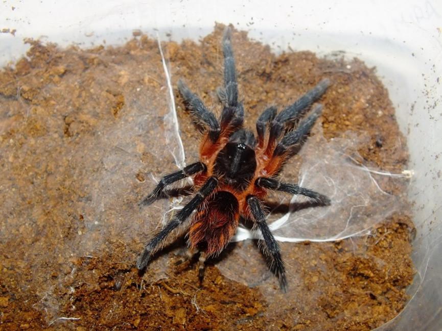 Theraphosinae sp. Panama L2/3 (1cm)