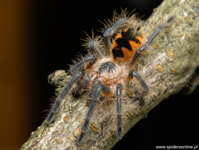 Pamphobeteus sp. Machalla L2 (2,5cm)