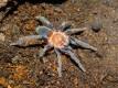 Holothele longipes L3 (2cm)