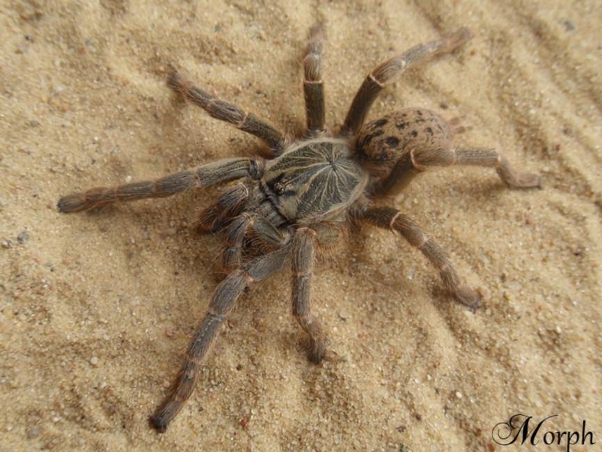 Pterinochilus lugardi L1/2 (1cm)