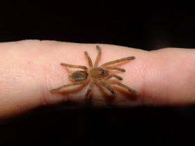 Pterinochilus lugardi L1 (1cm)