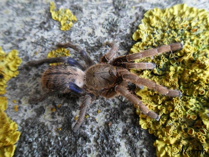 Cyriopagopus lividus L3 (2cm)