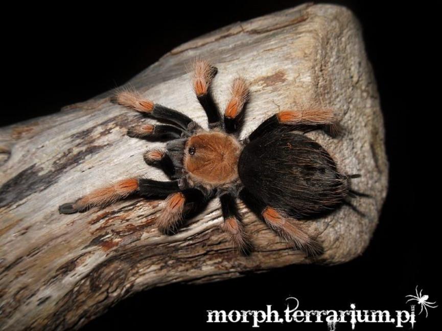 Brachypelma boehmei L1/2 (1cm)