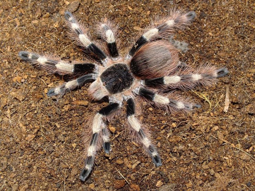 Nhandu coloratovillosus L5/6 (2,5cm)
