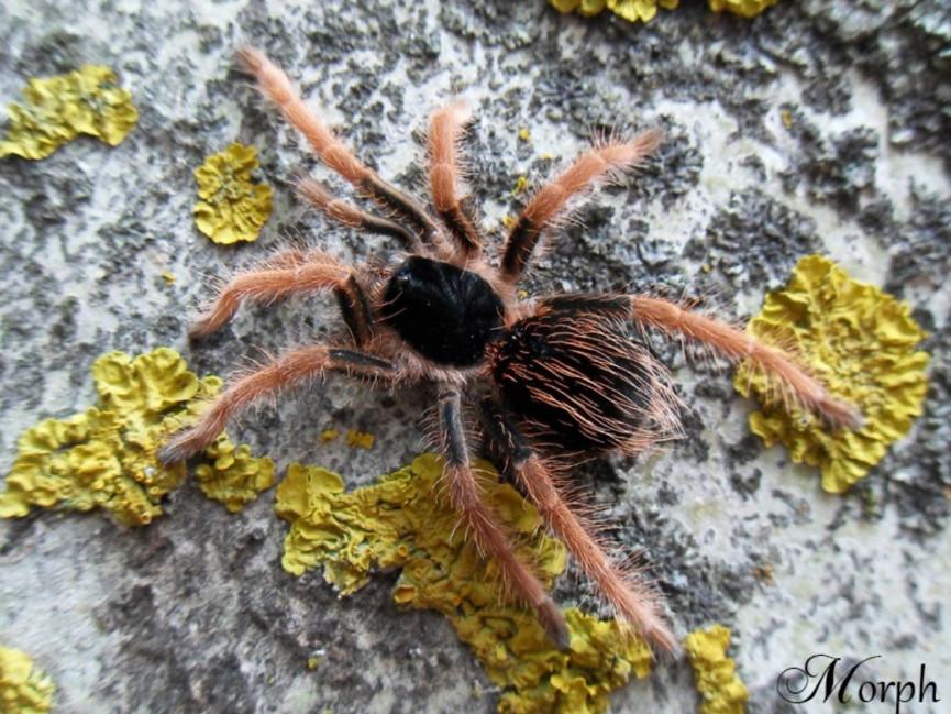 Megaphobema robustum L3 (3cm)