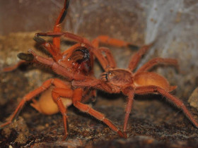 Orphnaecus philippinus L1/2 (1cm)