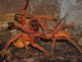 Orphnaecus philippinus L4 (2cm)