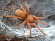 Orphnaecus philippinus L5/6 (3cm)