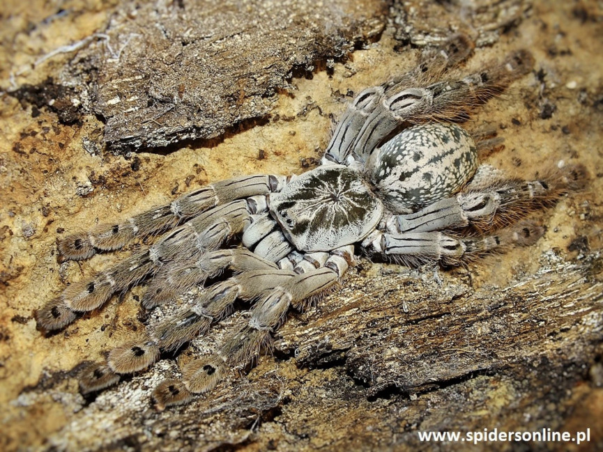Heteroscodra maculata L2 (1,5cm)