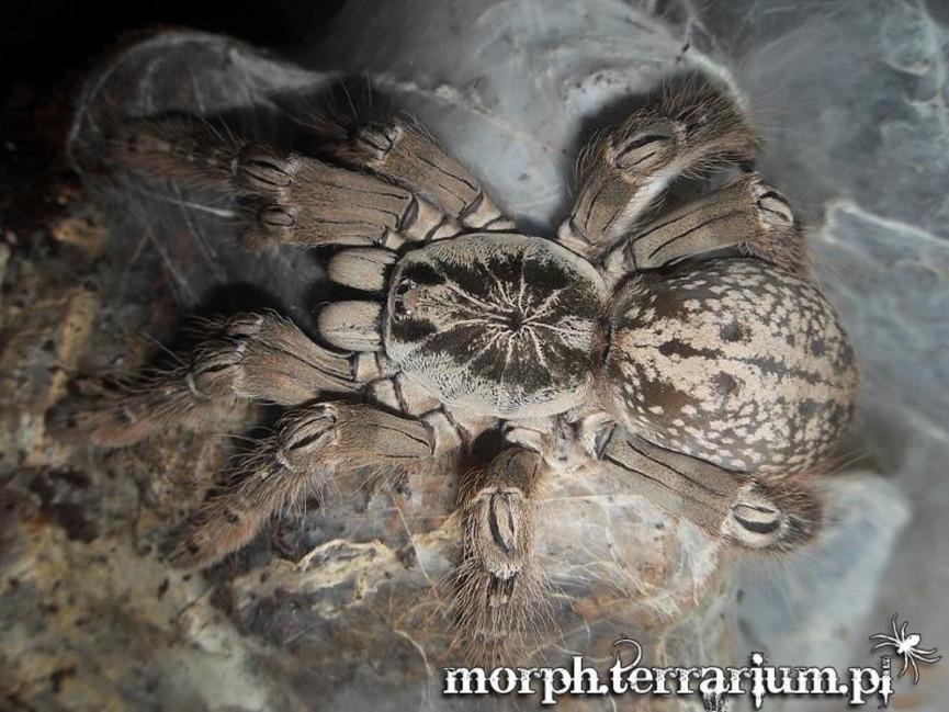 Heteroscodra maculata L2/3 (1cm)