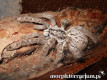 Heteroscodra maculata L3 (1,5cm) x10