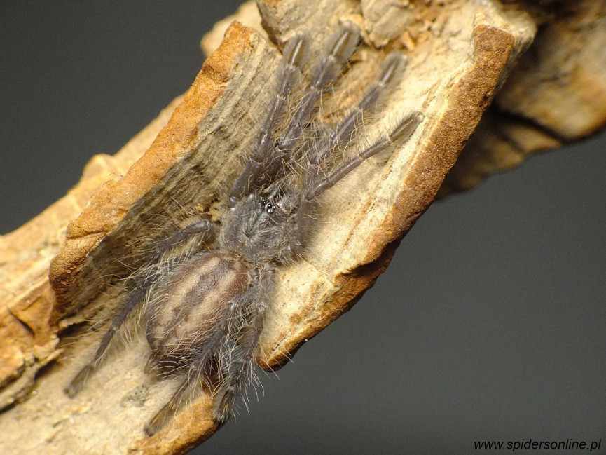 Poecilotheria metallica L2/3 (2,5cm)