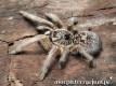 Ceratogyrus marshalli L2 (1cm) x10