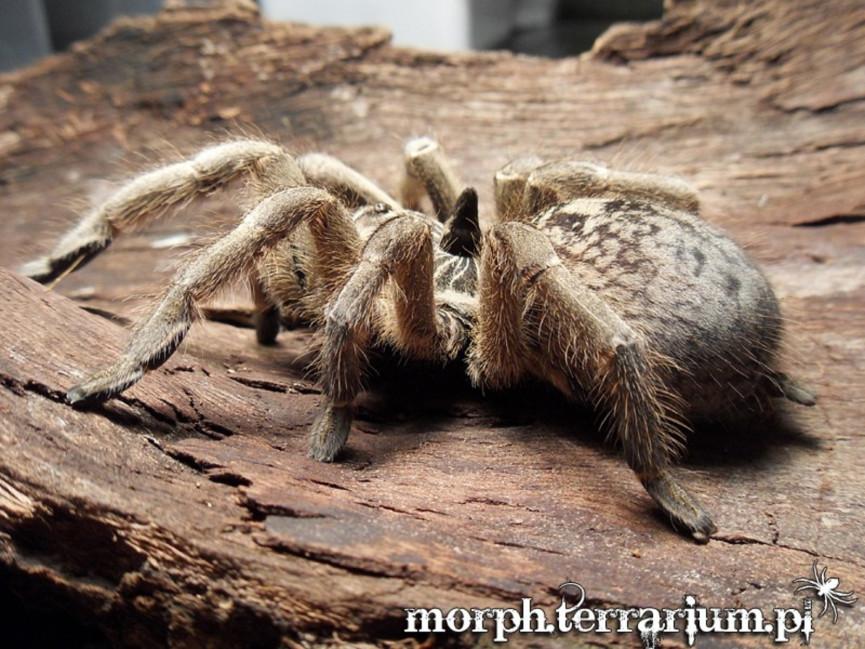 Ceratogyrus marshalli L2/3 (1cm) x10