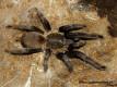 Chilobrachys sp. Kaeng Krachan L5 (2,5cm)