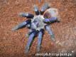 Pterinopelma sazimai L1 (1cm) x10