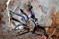 Cyriopagopus albostriatus 'ratchaburi' L1 (1cm)