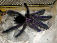 Avicularia purpurea L1 (1cm)